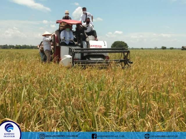 Panen Raya di Rantau Panjang, Bupati OI: Dukung Transformasi Pertanian Gelontorkan 212 Milyar